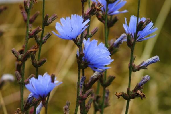 نوع بذر کاسنی