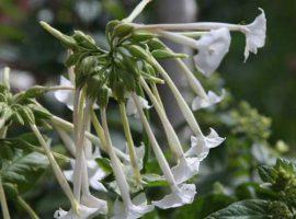 بذر گیاه تنباکو
