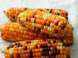 بذر ذرت 50 درصد رنگی
