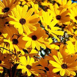 بذر آفتابگردان گل ریز