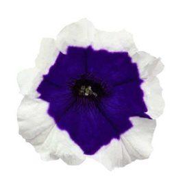 اطلسی آبی