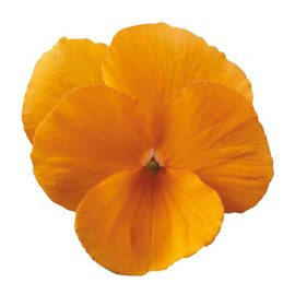 بنفشه نارنجی