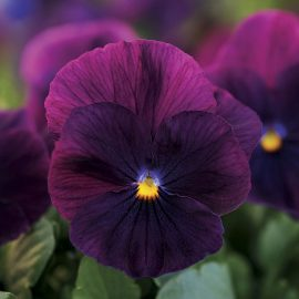 بنفشه گل درشت