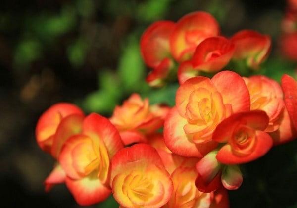 معرفی بذر بگونیا عروس گل درشت نارنجی