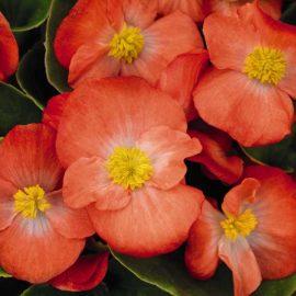 بذر بگونیا گل درشت نارنجی
