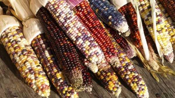 معرفی بذر ذرت رنگی 90 درصد