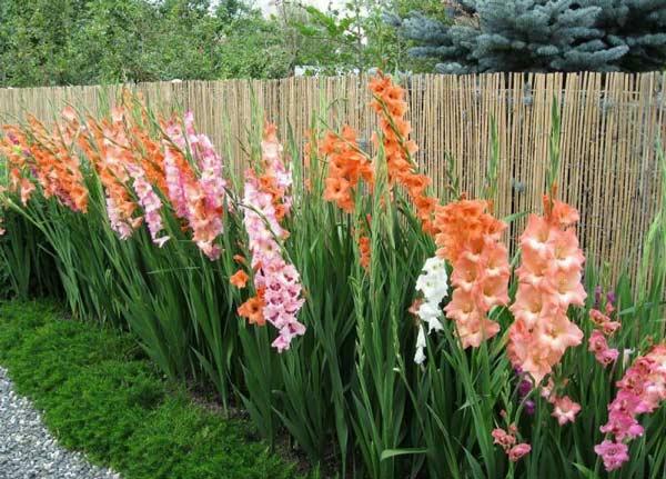 پیاز گل گلایل در باغچه