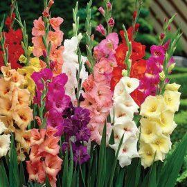 پیاز گل گلایول میکس