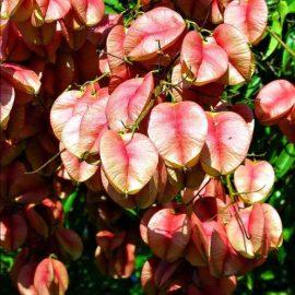 بذر درخت باران طلایی