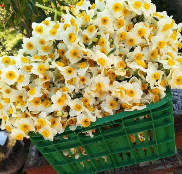 گل معطر نرگس شیراز
