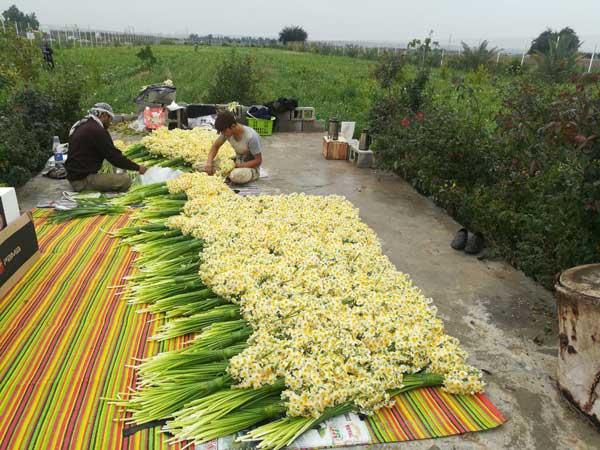برداشت نرگس شیراز از مزارع بهبهان