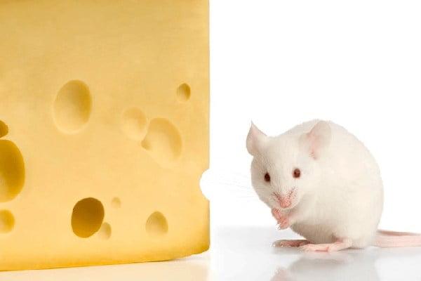 طعمه موش
