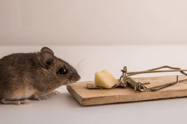 خرید طعمه موش