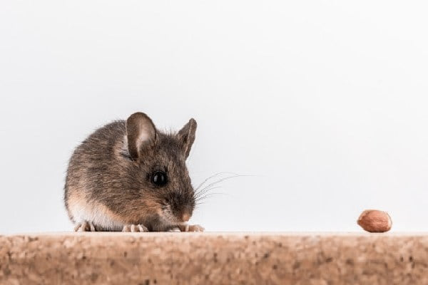 روش مصرف طعمه موش