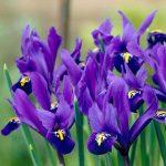 زنبق هلندی