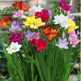 قیمت و خرید پیاز گل فریزیا هلندی