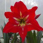آماریلیس قرمز
