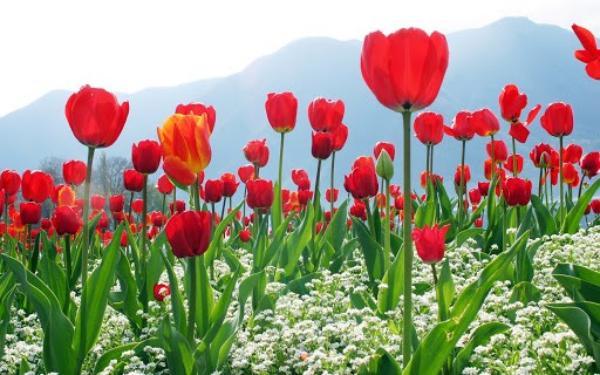 پیاز گل لاله قرمز پاکوتاه رقم Seadov