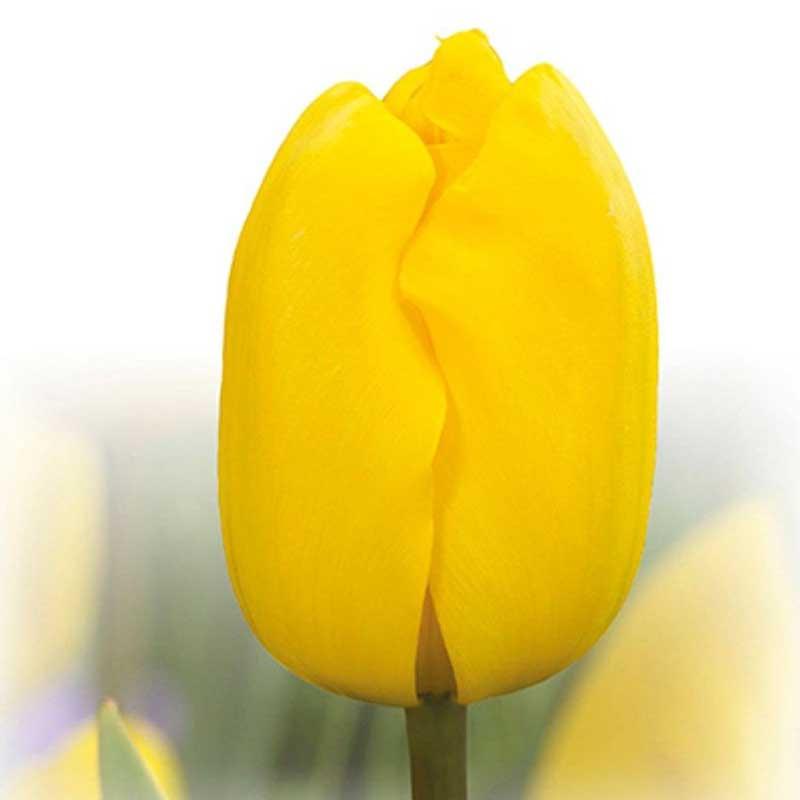لاله زرد پررنگ