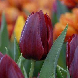 پیاز گل لاله قرمز پررنگ Pallada