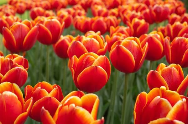 پیاز گل لاله قرمز زرد رقم Darwin Ad Rem