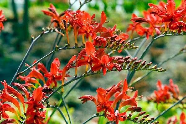 نحوه کاشت پیاز گل کروکوزمیا قرمز