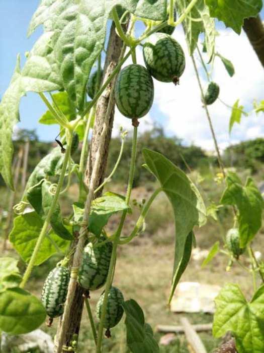 قیمت و خرید بذر کوکوملون (هندوانه مینیاتوری)