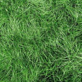 بذر چمن هلندی بارنبروگ
