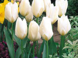 خرید پیاز گل لاله