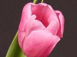 خرید اینترنتی پیاز گل لاله