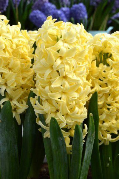 انواع پیاز گل سنبل