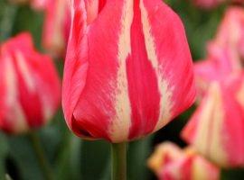 فروش پیاز گل لاله