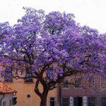 درخت پالونیا در بهار