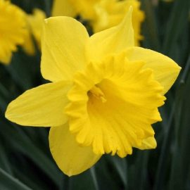 قیمت و خرید پیاز گل نرگس هلندی