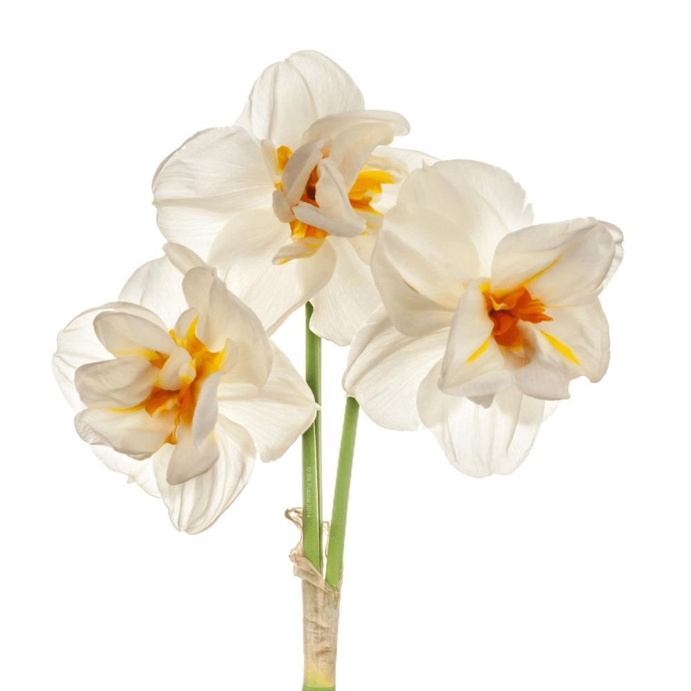 قیمت و خرید پیاز گل نرگس شیراز پرپر