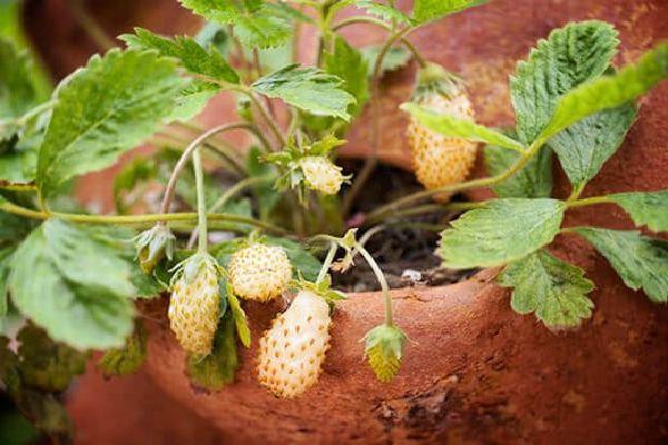 بذر توت فرنگی زرد