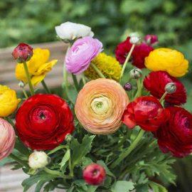 پیاز گل آلاله