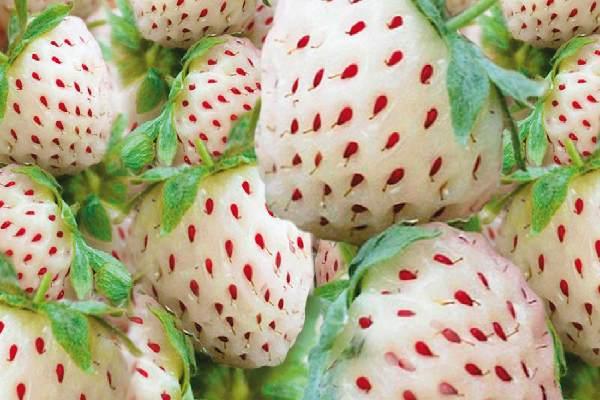 قیمت بذر توت فرنگی سفید