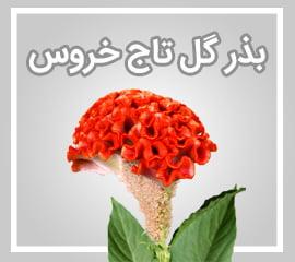 بذر گل تاج خروس