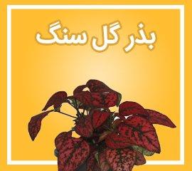بذر گلسنگ