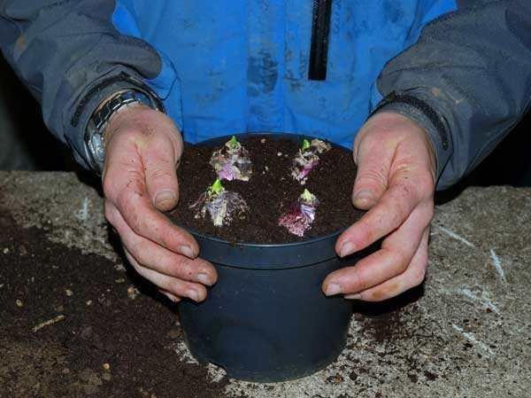 نحوه کاشت پیاز گل سنبل ارغوانی رقم Purple Sensation