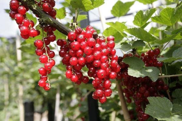 کاشت بذر ردکارنت قرمز