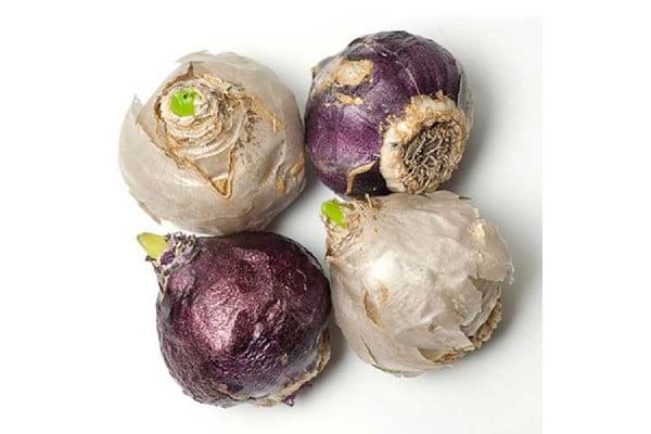 مشخصات پیاز گل سنبل ارغوانی رقم Purple Sensation مرغوب