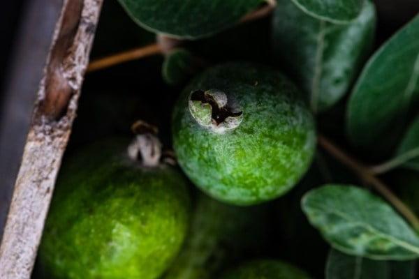 کاشت بذر فیجوا
