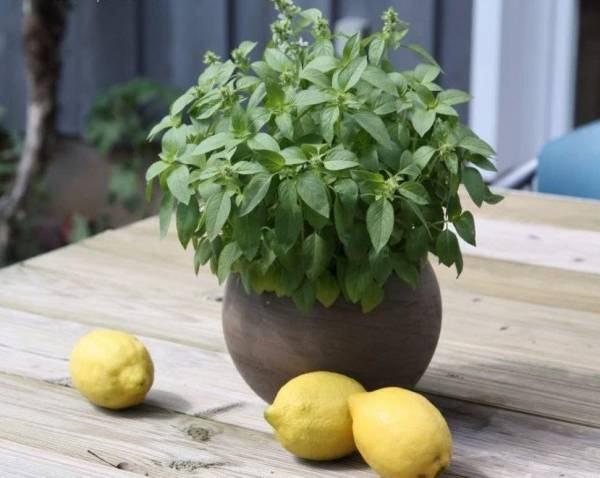زمان کاشت بذر ریحان لیمویی