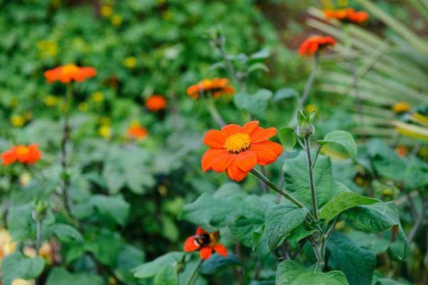بذر گل تیتونیا