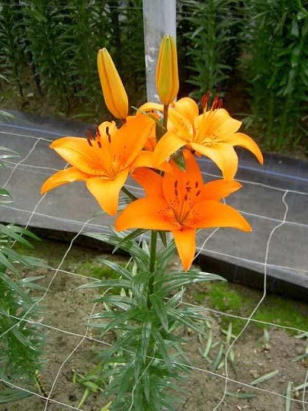 کاشت پیاز گل لیلیوم نارنجی رقم Tresor