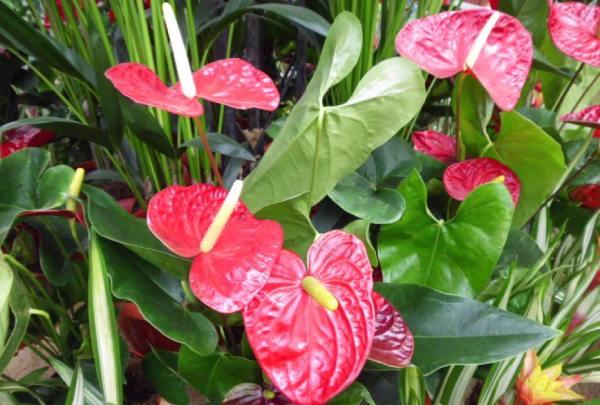 شرایط پرورش گل آنتوریوم