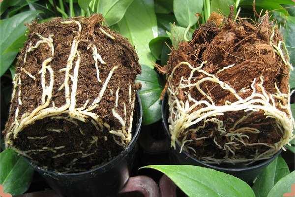 کاشت بذر گل آنتوریوم