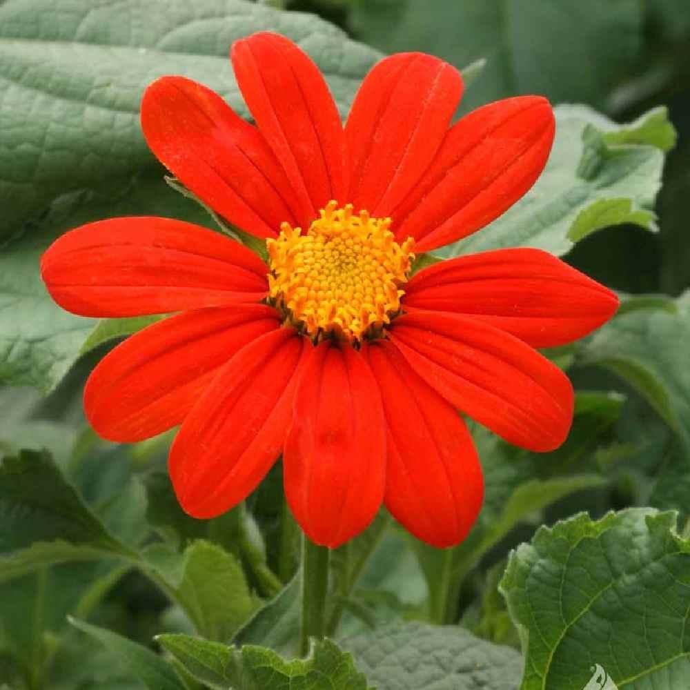 خرید بذر گل آفتابگردان مکزیکی (تیتونیا)